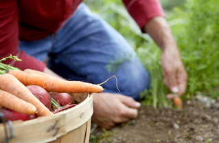 Harvesting-Carrots-Earth-Digging-Photo